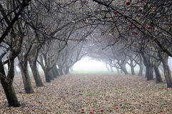 Foggy Orchard royalty free stock image