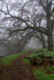 Path to the unknown. A foggy path in the woods of the UC Davis Riparian Preserve, in the winter, displaying leafless oak trees and green grass, and a foggy way Royalty Free Stock Image