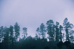 Foggy pine forest at dawn Stock Images