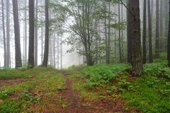 Foggy pine forest. Early morning in a high mountain foggy pine forest, forest path and some green fern in foreground royalty free stock images