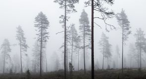 Foggy pine forest. Fall foggy pine forest from Finland Royalty Free Stock Photos