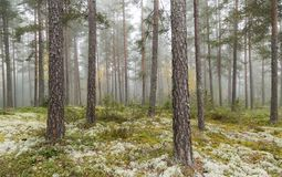 Foggy pine forest. Fall foggy pine forest from Finland Royalty Free Stock Image