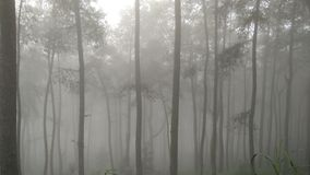 FOGGY PINE FOREST Royalty Free Stock Photo