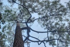 Foggy pine forest royalty free stock photos
