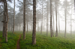Foggy pine forest Royalty Free Stock Images