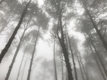 Foggy pine tree forest with streaming light. In the cold weather morning stock images