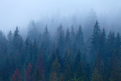 Foggy pine trees on mountain slope Stock Images