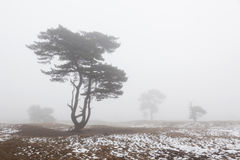 Foggy pine trees and snow in winter on moor near zeist in the ne Royalty Free Stock Image