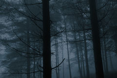 Foggy pinewood at dusk Stock Photos