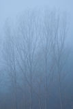 Foggy poplars Stock Photos