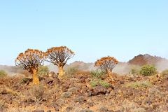 Foggy mystic Quiver trees Kokerboom sunrise, Namibia Stock Images