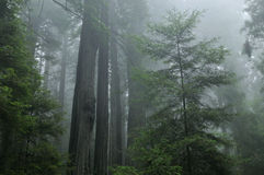 Foggy Redwood Forest Royalty Free Stock Images