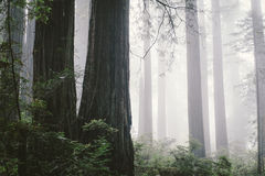 Foggy redwood forest. In North Coast, California Stock Images