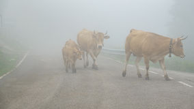 Foggy road with cows, dangerous stock images