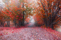 Foggy road in the red autumn forest Stock Photo