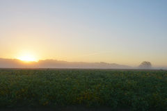 Foggy Soybean Sunrise Royalty Free Stock Image
