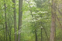 Foggy Spring Forest with Dogwood in Bloom Royalty Free Stock Images