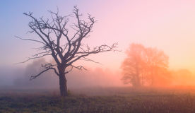 Old tree. Spring sunrise Royalty Free Stock Images