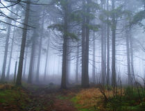 Foggy spruce forest Royalty Free Stock Photos