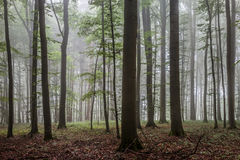 Foggy Summer Forrest Stock Images
