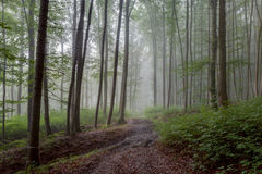 Foggy Summer Forrest Royalty Free Stock Photo