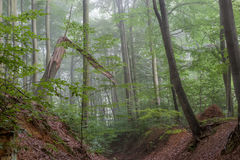 Foggy Summer Forrest Royalty Free Stock Images