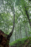 Foggy Summer Forrest Royalty Free Stock Photography