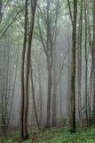 Foggy Summer Forrest Royalty Free Stock Image