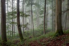 Foggy Summer Forrest Stock Image