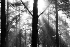 Foggy sun rays shine thru forest Royalty Free Stock Photos