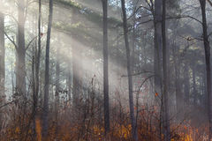 Foggy sun rays shine thru forest Royalty Free Stock Photo