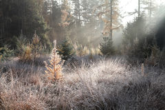 Foggy sunbeams in frosted forest Stock Image