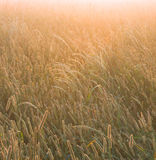 Foggy sunrise. On a field - background Royalty Free Stock Photos