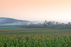 Foggy Sunrise on Cornfield Stock Photos