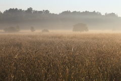 Foggy Sunrise over Grassy Meadow in Bialowieza National Park Royalty Free Stock Images