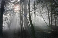 Foggy sunrise in the woods. Sun shining through the trees and fog Royalty Free Stock Photography