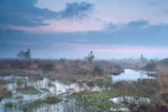 Foggy sunset over swamp with cotton-grass Stock Images