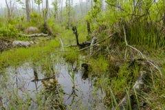 Foggy Swamp Stock Photo