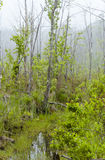 Foggy Swamp Stock Image