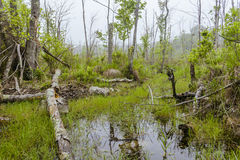 Foggy Swamp Stock Images