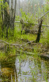 Foggy Swamp Royalty Free Stock Images