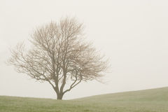 Foggy Tree. On its own in an empty field Royalty Free Stock Image