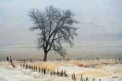 Foggy tree. A tree in a pasture on a very foggy day Royalty Free Stock Photo