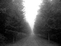 Foggy Trees. A quiet dirt road lined by tall pines located at a Buddhist monastery in the Catskills royalty free stock image