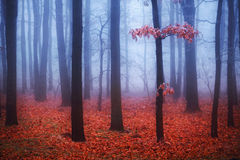 Foggy trees in forest with red leaves royalty free stock photography