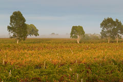 Free Foggy View Of Vineyard In The Morning In Coonawarra Winery Region During Autumn In South Australia. Stock Photos - 72349653