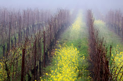 Foggy Vineyard Stock Photos
