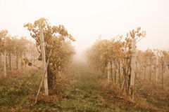 Foggy vineyard Royalty Free Stock Images