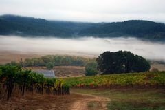 Foggy Vineyard in Autumn. Dirt road through vineyard on a foggy autumn morning Royalty Free Stock Images