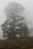 Foggy weather. Tall coniferous tree in a mist Stock Photo